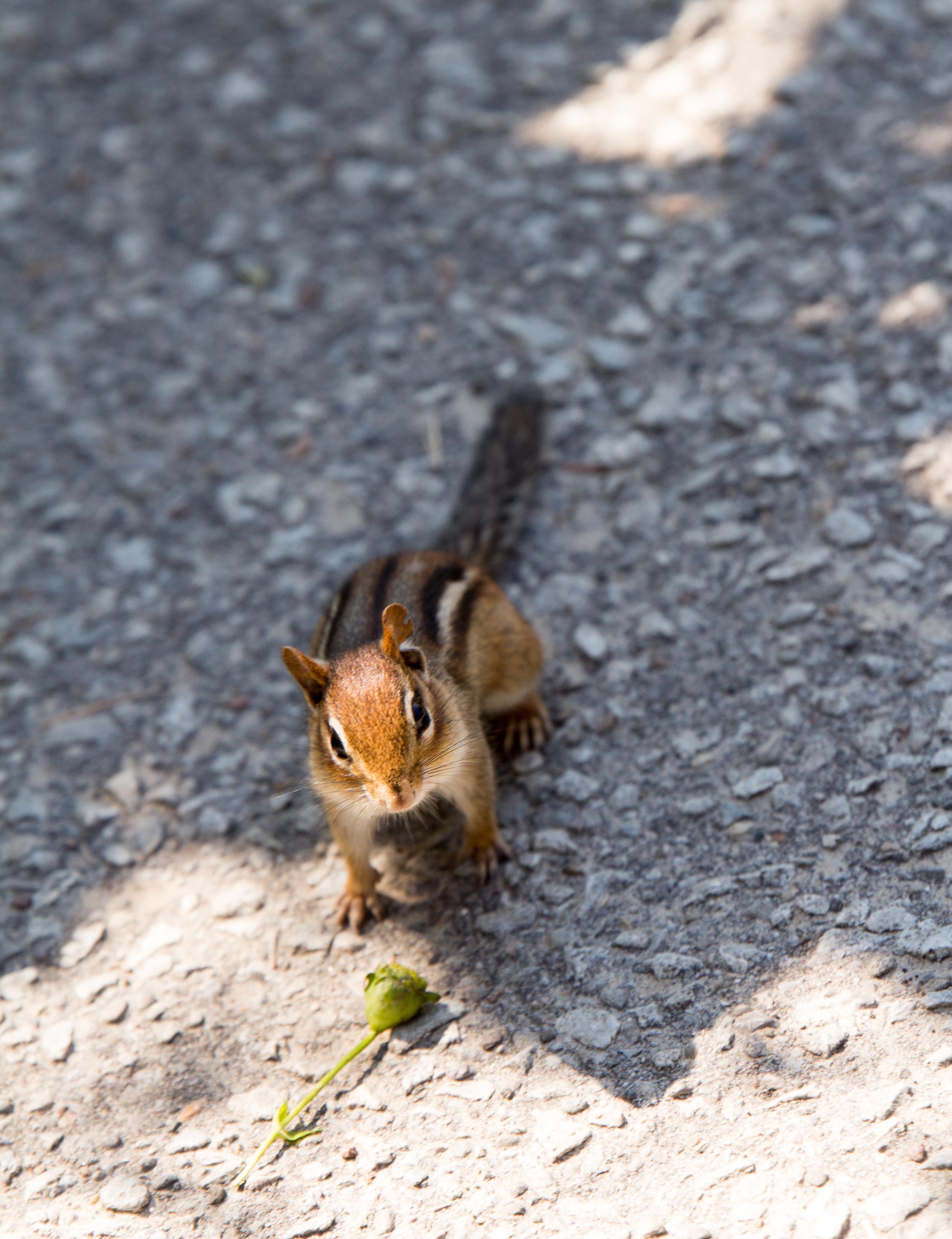Chipmunk in High Park in Toronto.