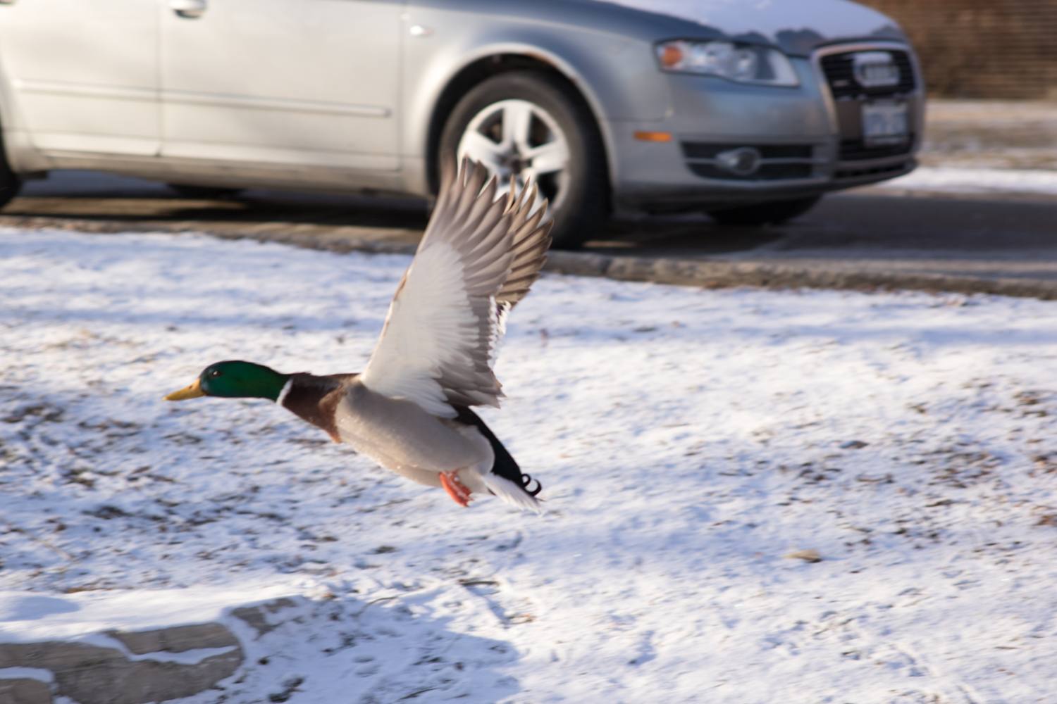Duck flying though the air. January 19th
