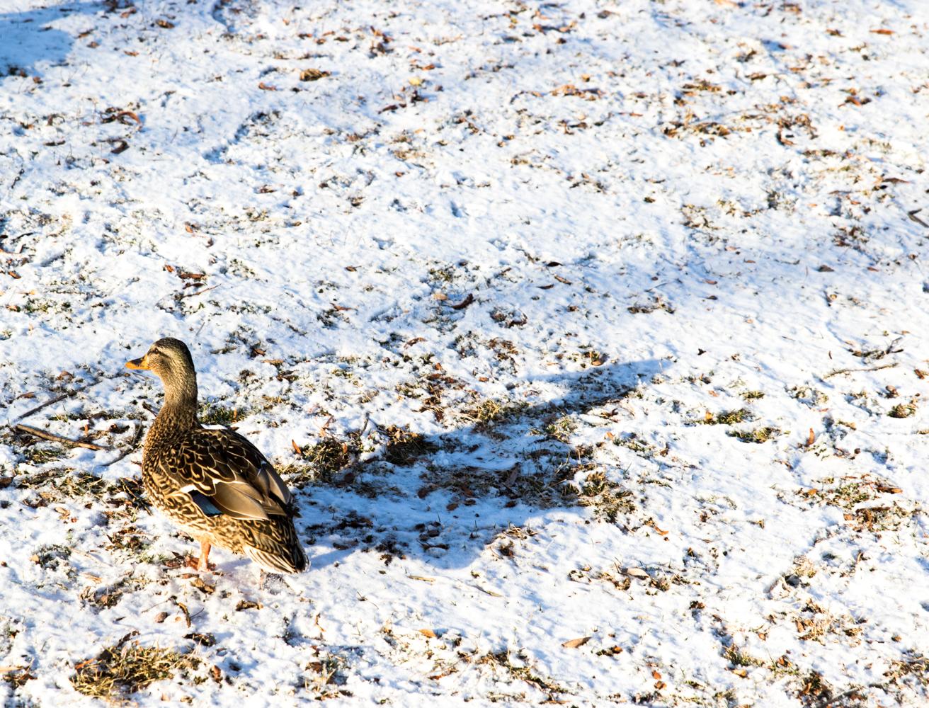 Duck enjoying the snow.