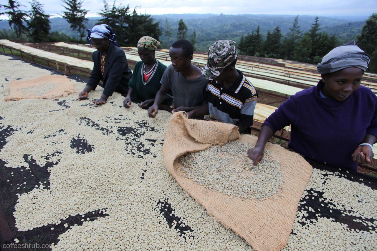 dried coffee sorting.jpg