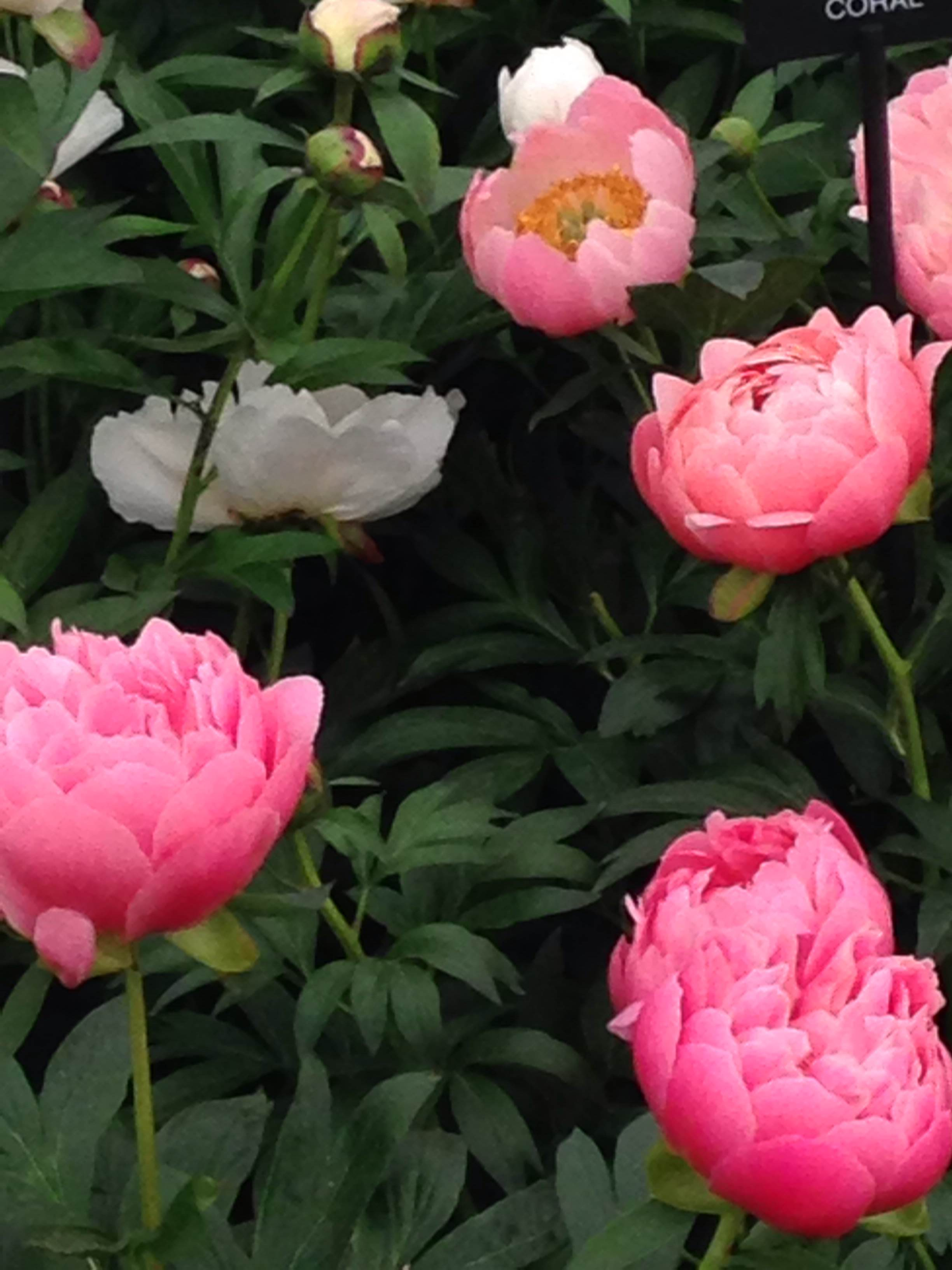 I could look at peonies forever - they are so beautiful
