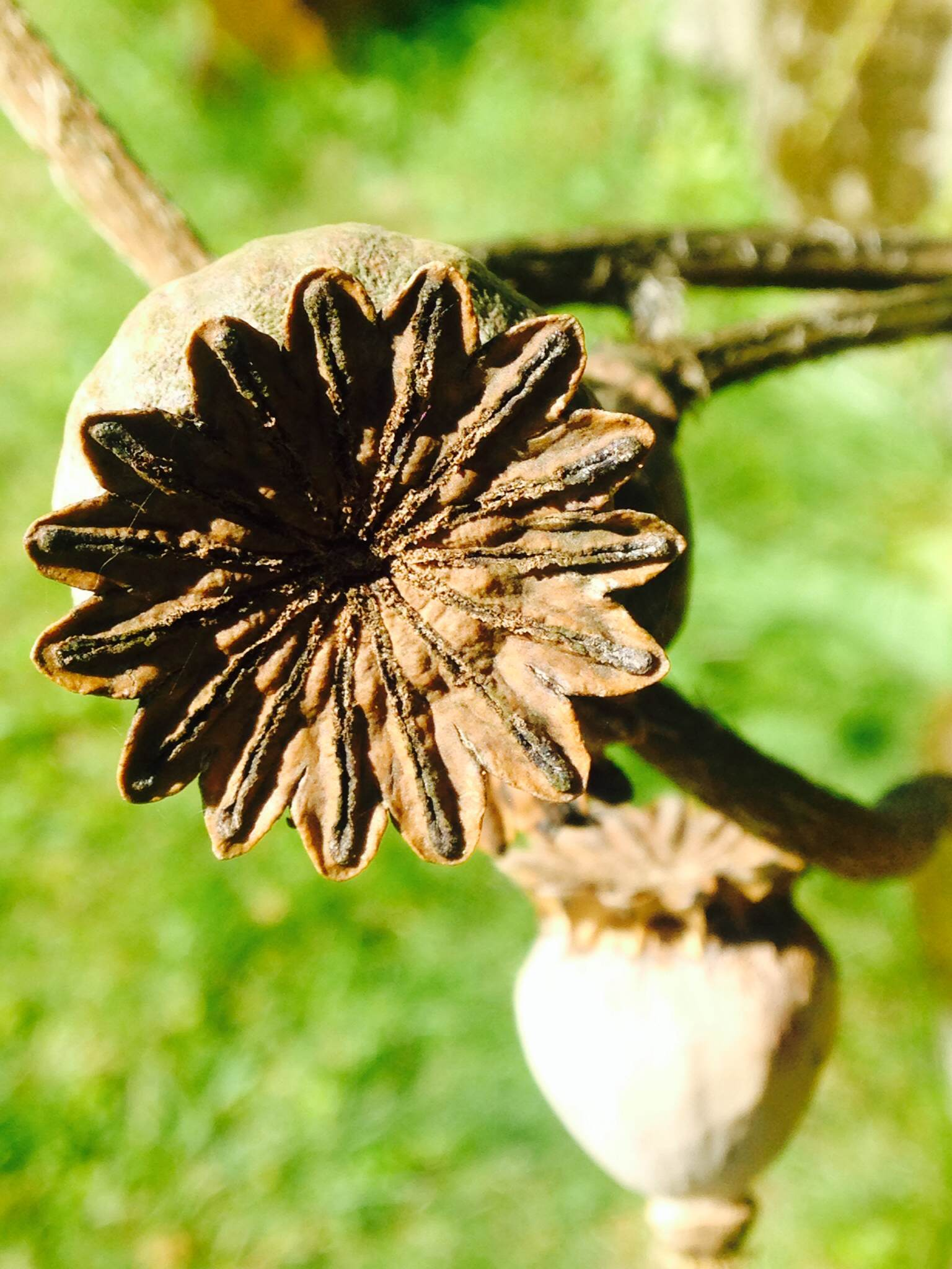 Poppies don't just look great as flowers but their seed pods rock in their own right