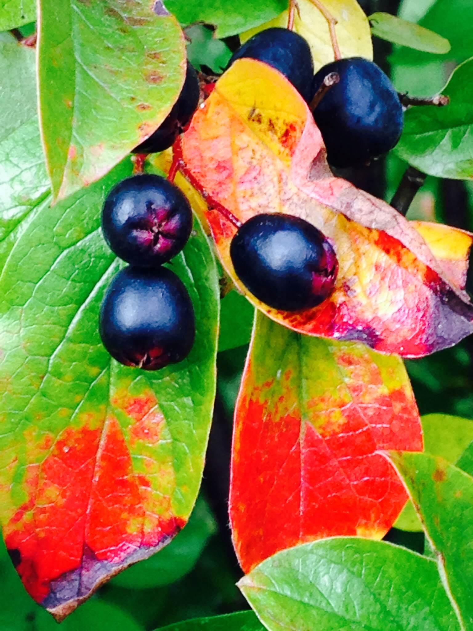Red leaves and berries.jpg