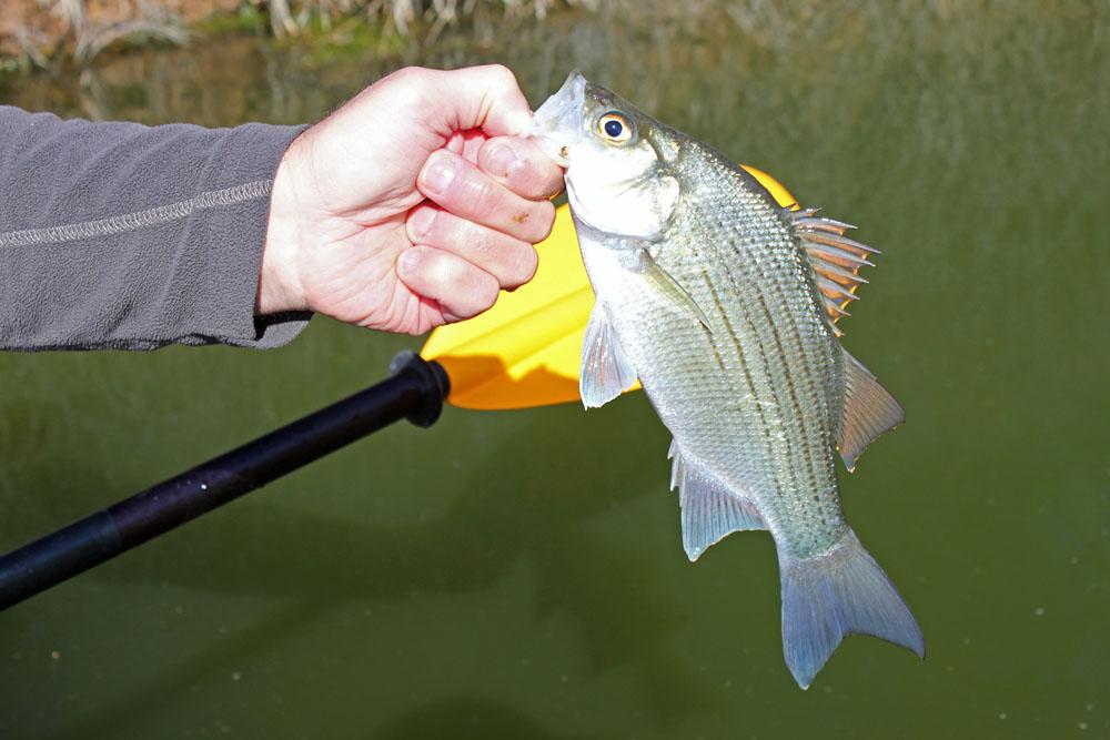 White Bass Brazos River