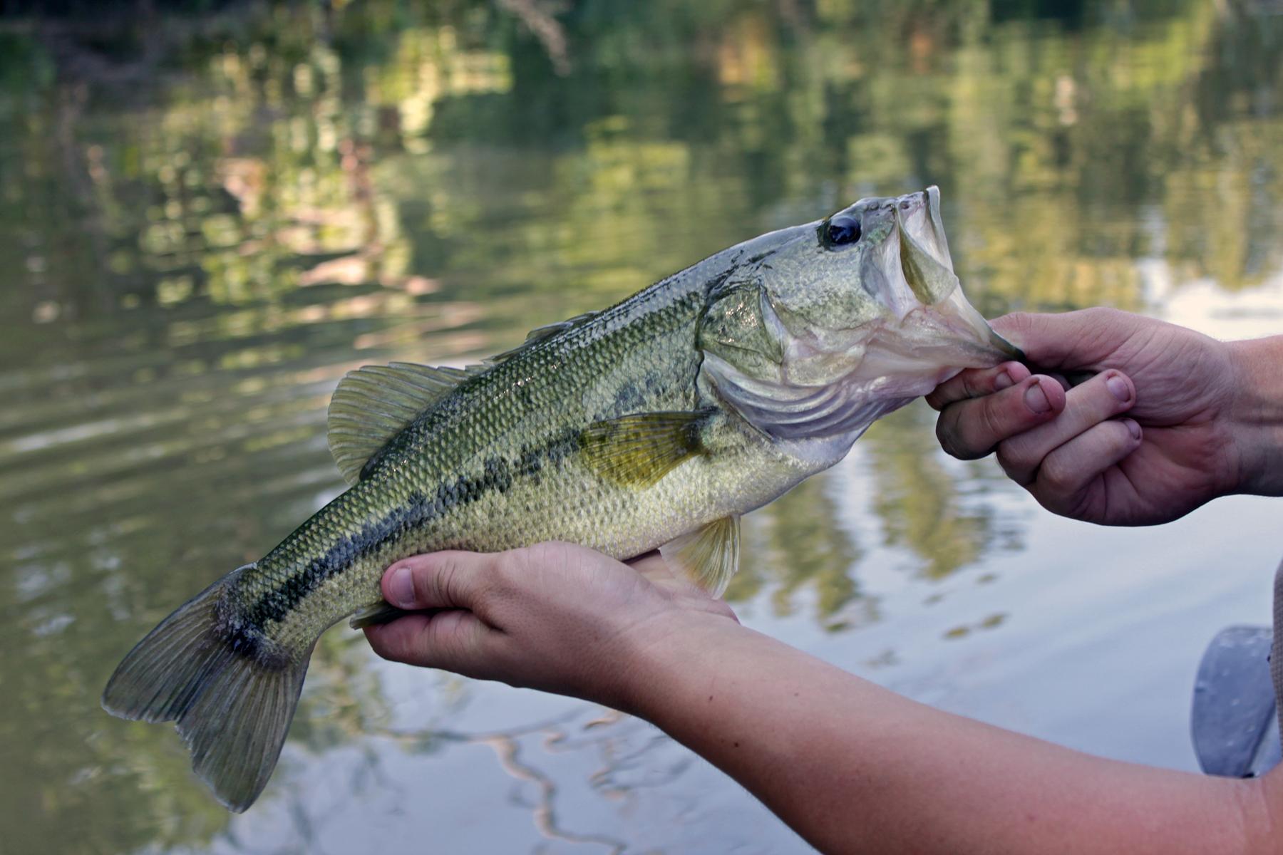 South Llano River Bass