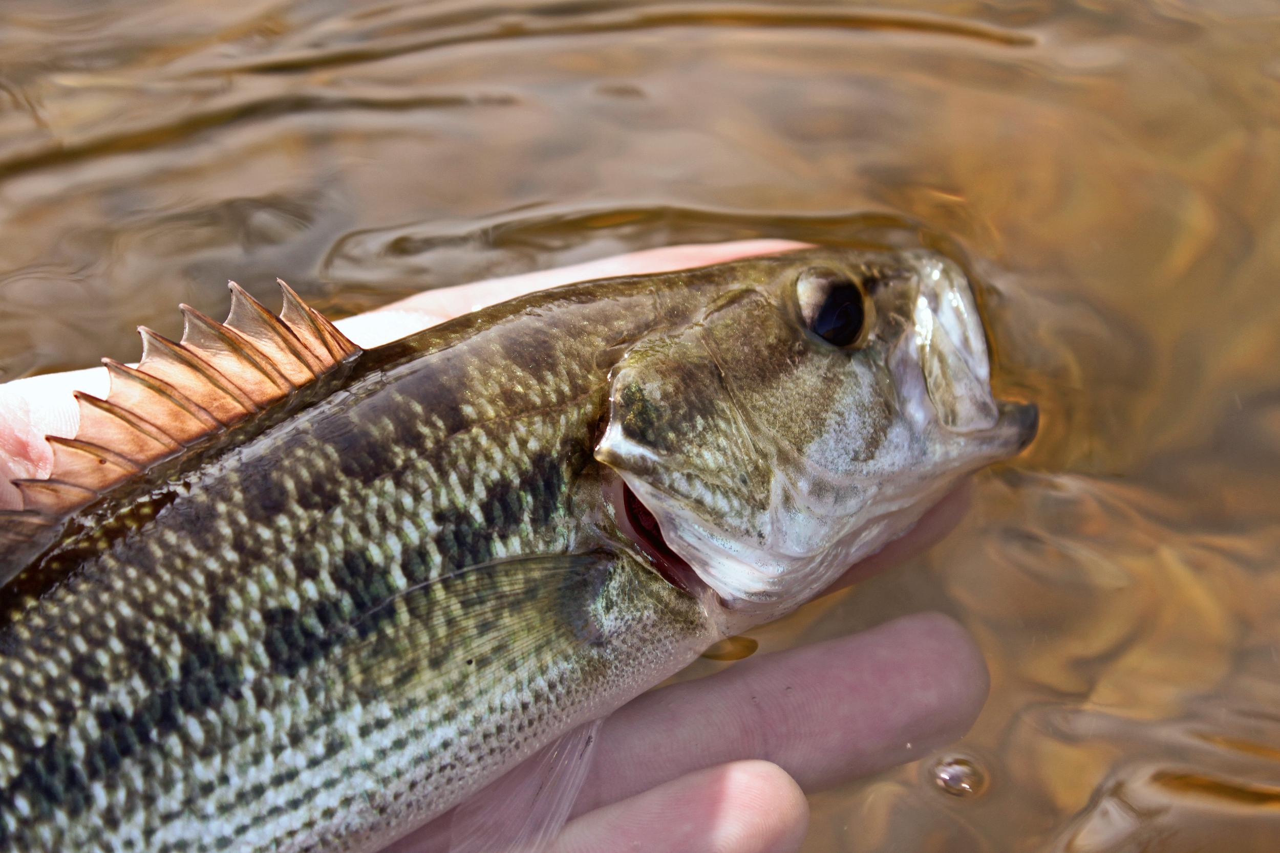 Brazos River Bass
