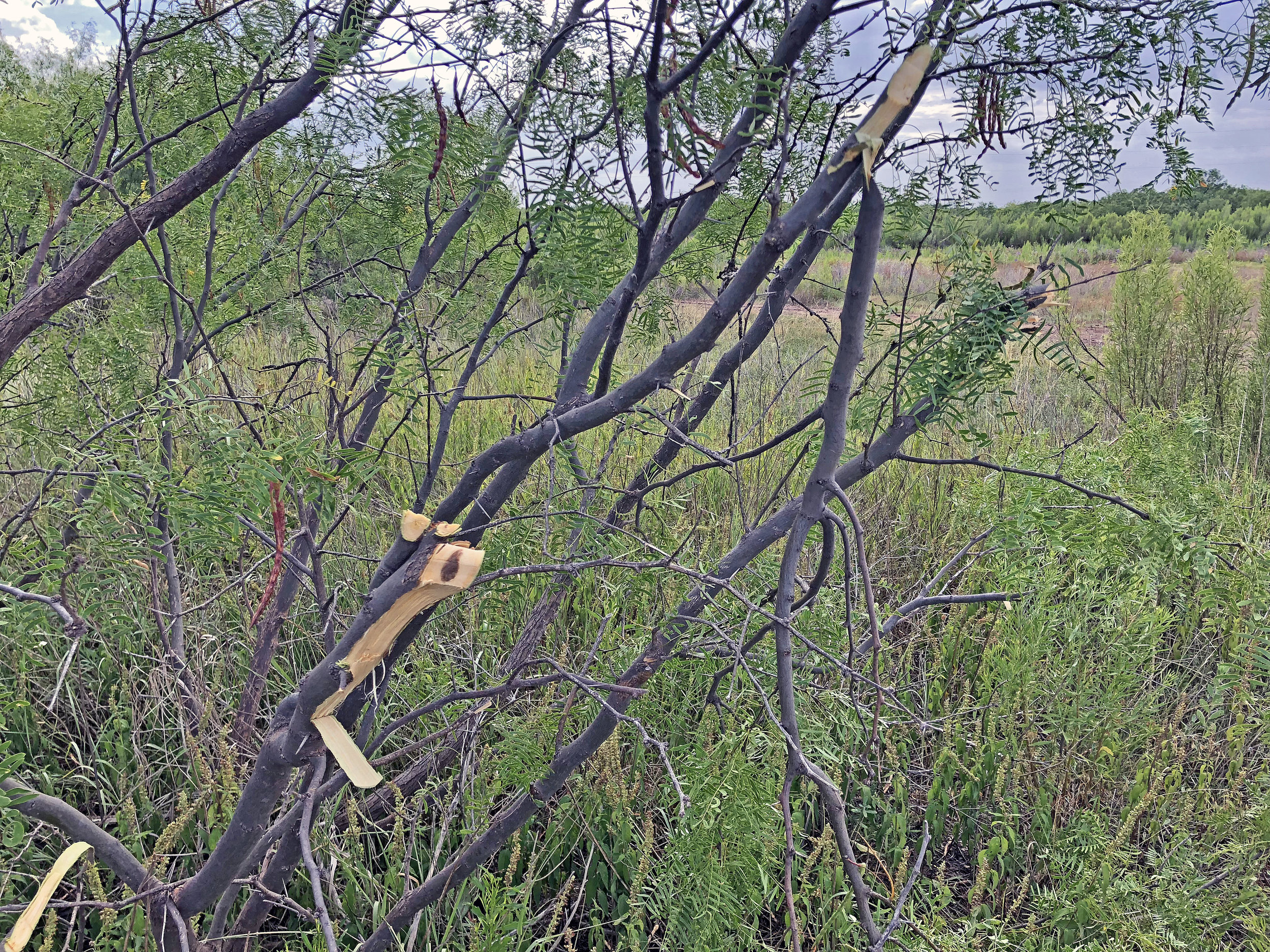 Kabar Kukri Tree Limb Clearing