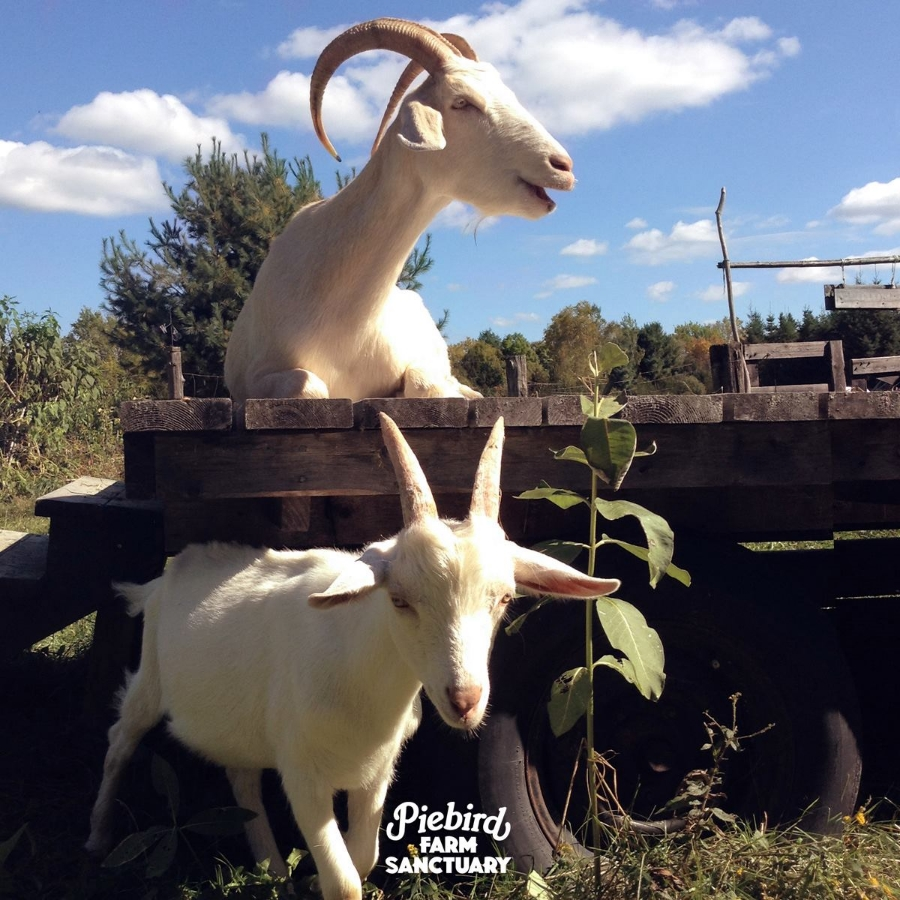 Photo credit: Sunshine and Jollygood, two sweetpeas enjoying their lovely life at  Piebird Farm Sanctuary .