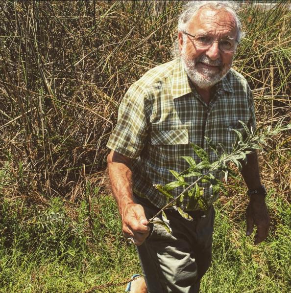 Dr Bowler foraging the Dream Plant, Artemisia douglasiana Mugwort.