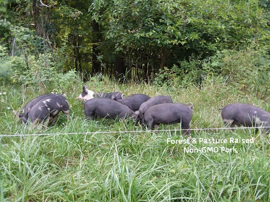 pasture forest pigs.jpg
