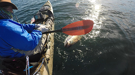 Greg Barnicoat with oldest hswri tagged Whie seabass