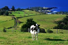Kiama; lots of hills and cows.