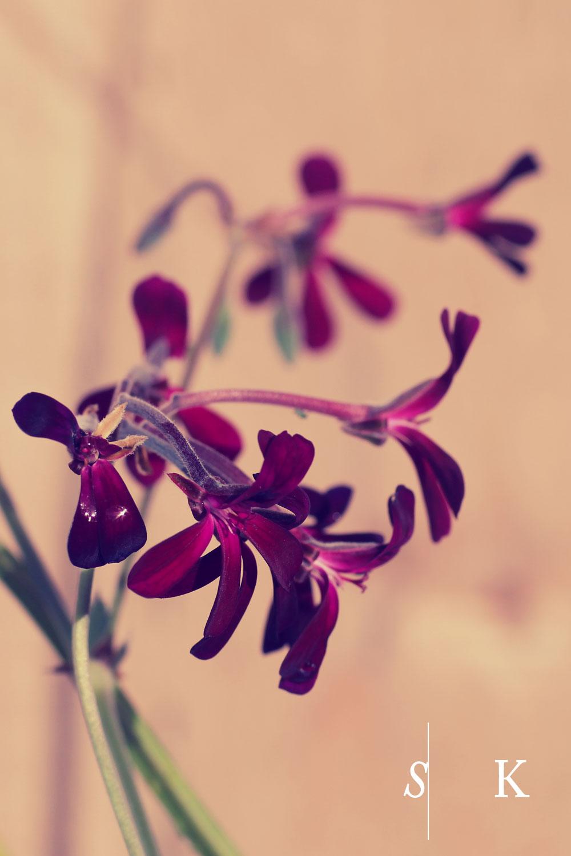 Umckaloabo Pelargonium