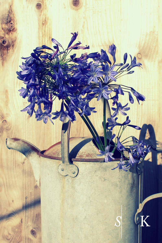 Agapanthus Cut Flowers