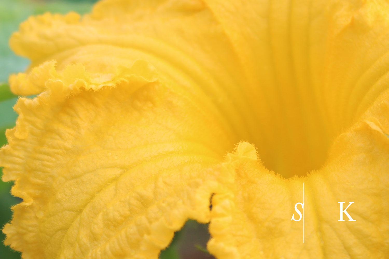 'Uchiki Kuri' Flower Cornwall