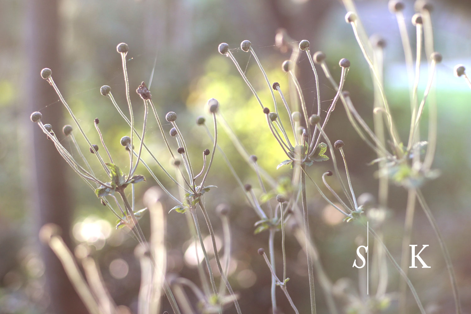 Cornwall Garden Design Seed Heads in Low Sun