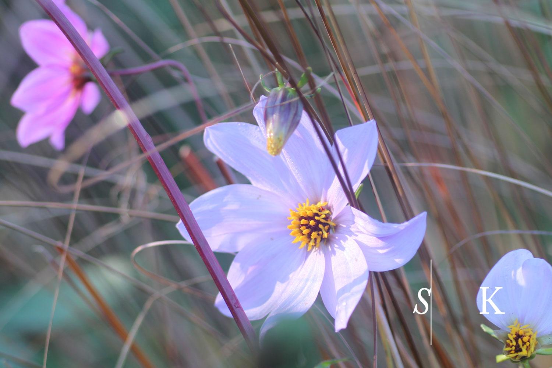 November dahlia species Cornwall