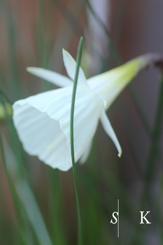 Daffodils in November, Cornwall