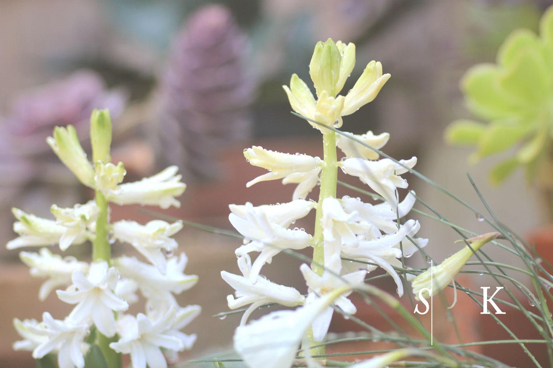 Garden Design Cornwall Hyacinth