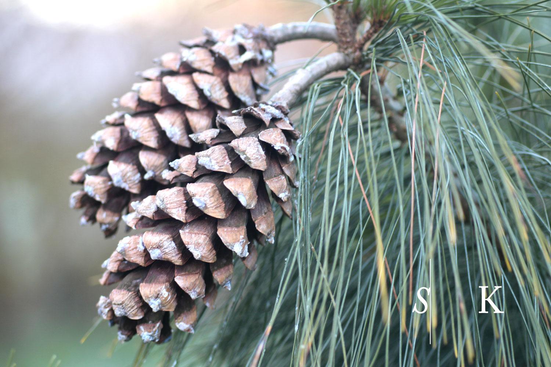 Cornwall Pine Cones