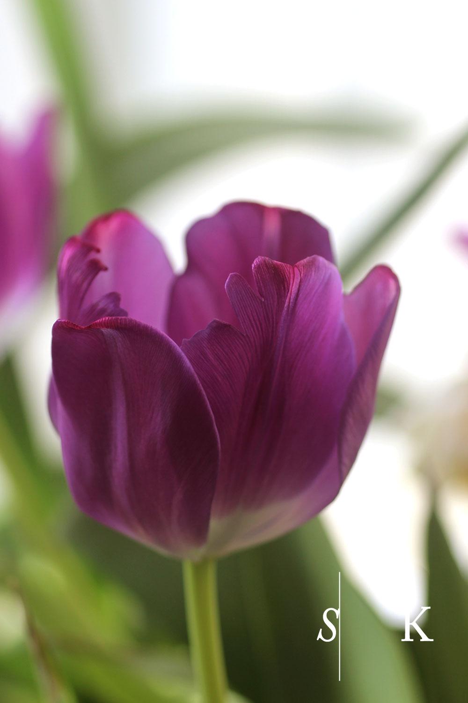 Selma-Garden-Design-Tulips6.jpg