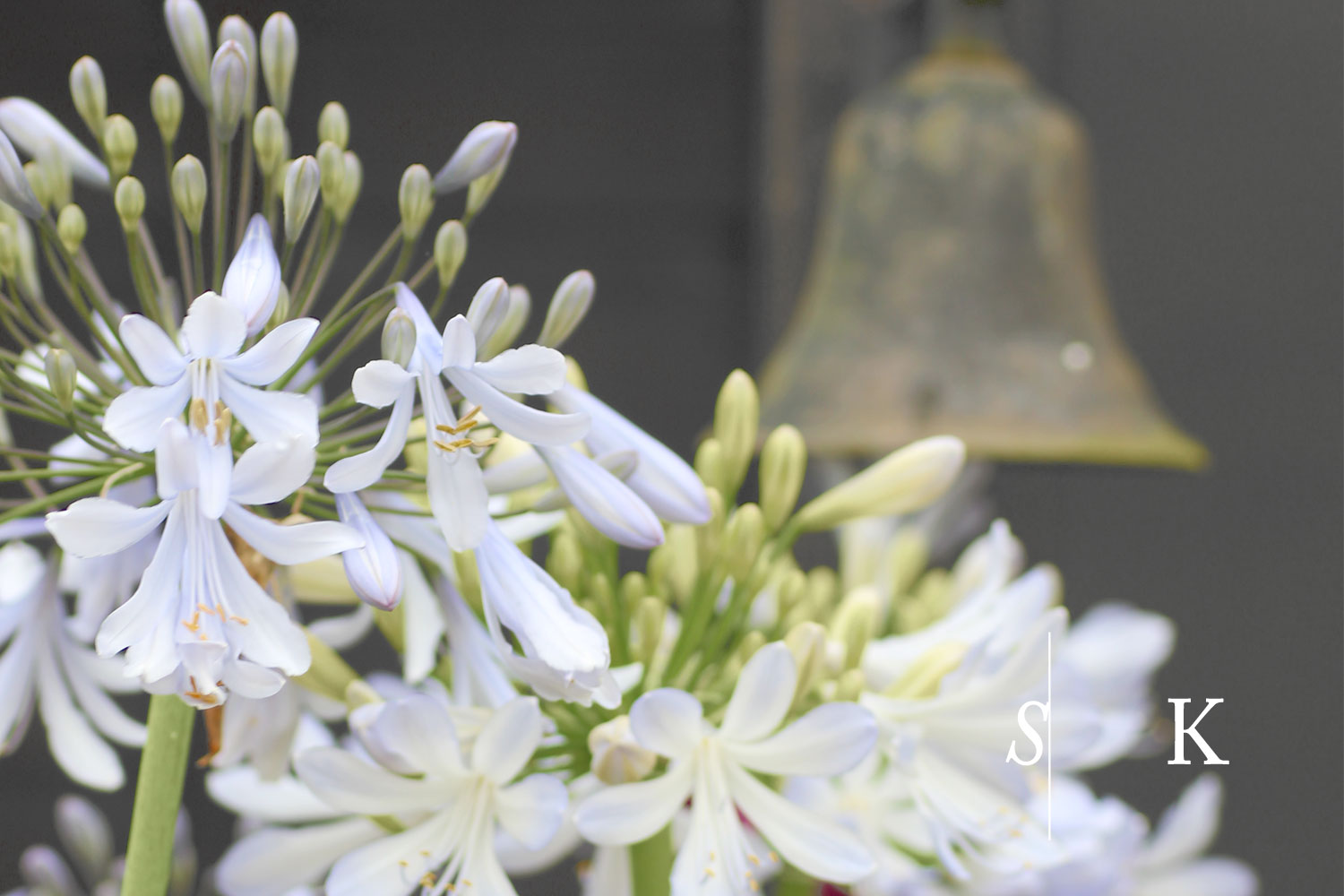 Cornwall Agapanthus for sale