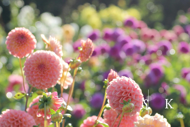 Dahlias Cornwall Selma Garden Design