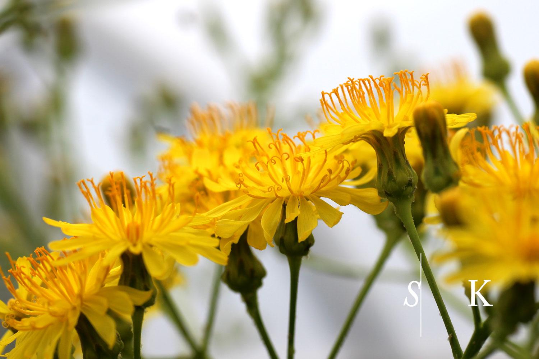 Sonchus in flower