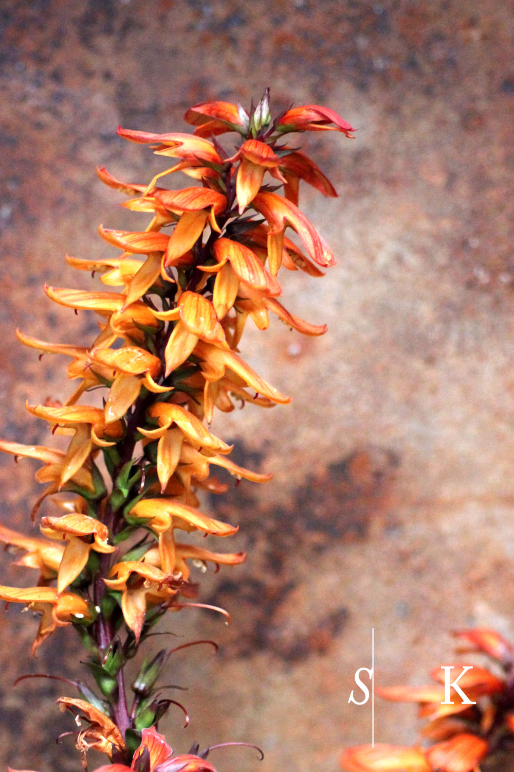 Isoplexis canariensis and Digitalis obscura