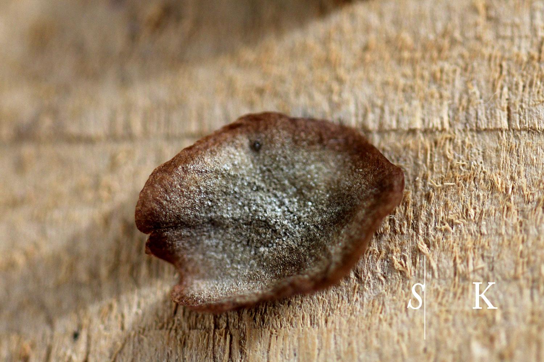 Selma-Cobaea-seeds1.jpg