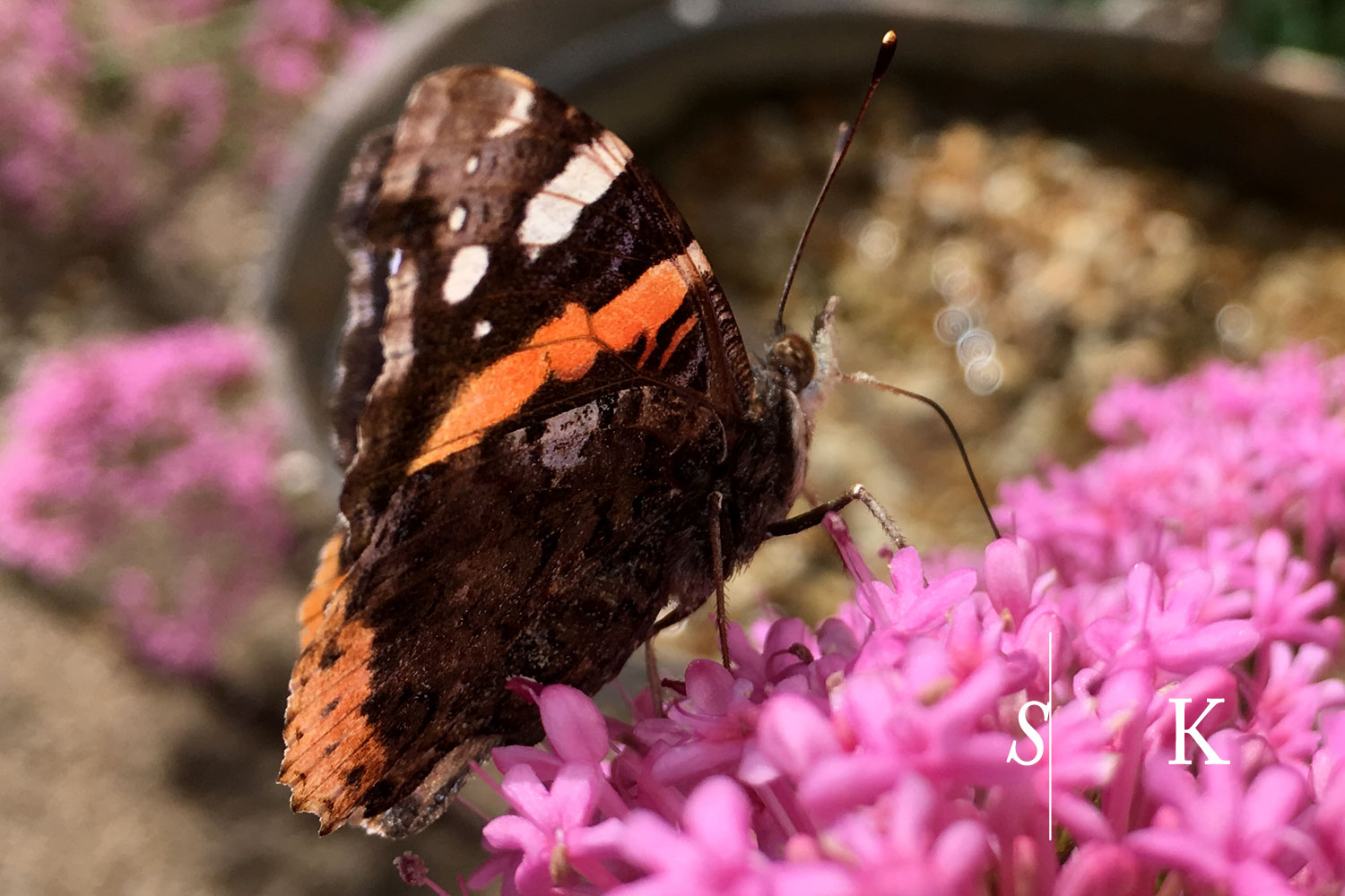 Red Admiral and Red Valerian in Cornwall