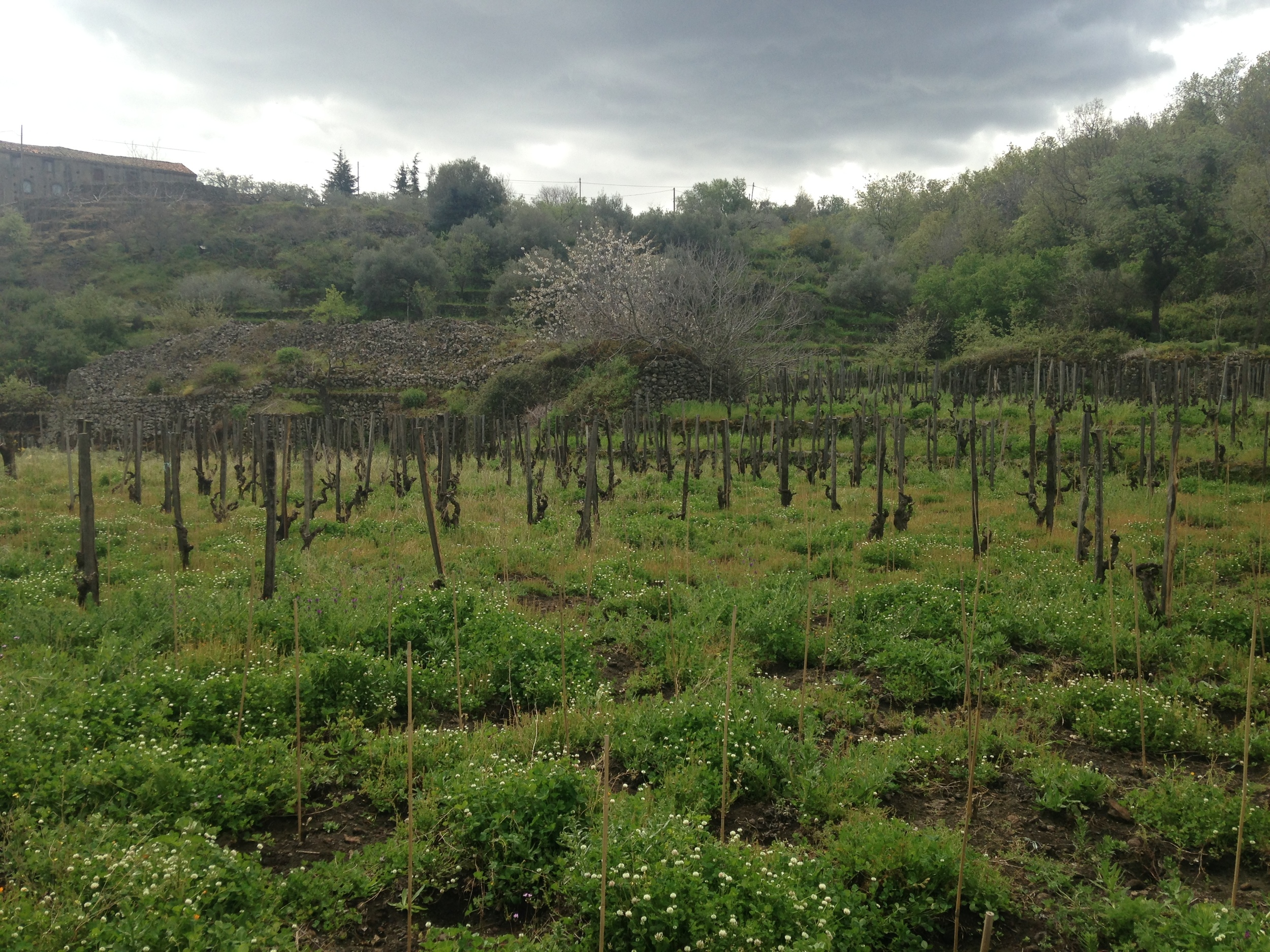 Pre-phylloxera Nerello Mascalese vines at Firriato.