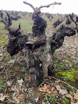 Gnarly AF! These 250-year old Pais vines in Chile's Bìo-Bìo Valley still pump out grapes that go into Cacique Maravilla's natural Pipeño — look for it back on the list soon!