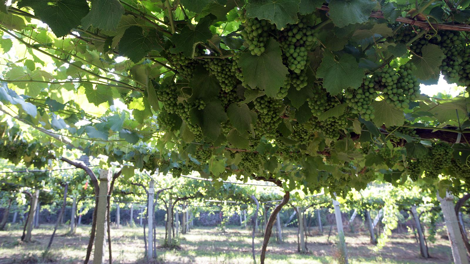 Albariño vines under pergola in Rias Baixas