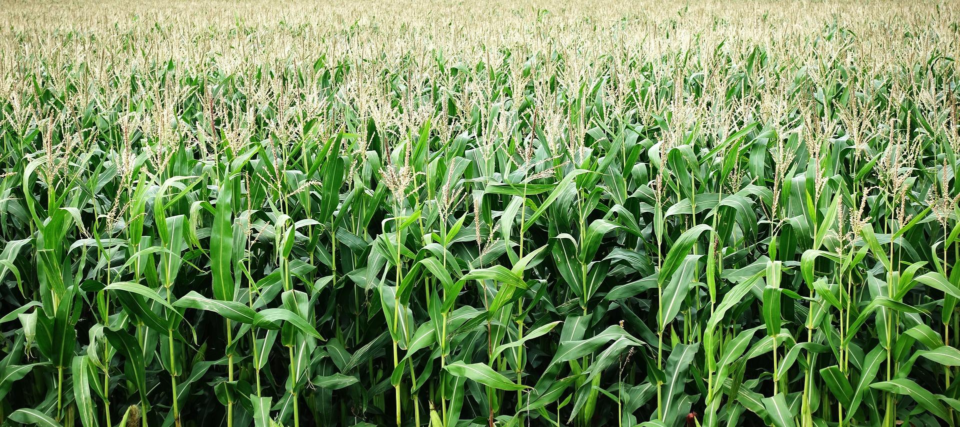 corn-2655525_1920.jpg