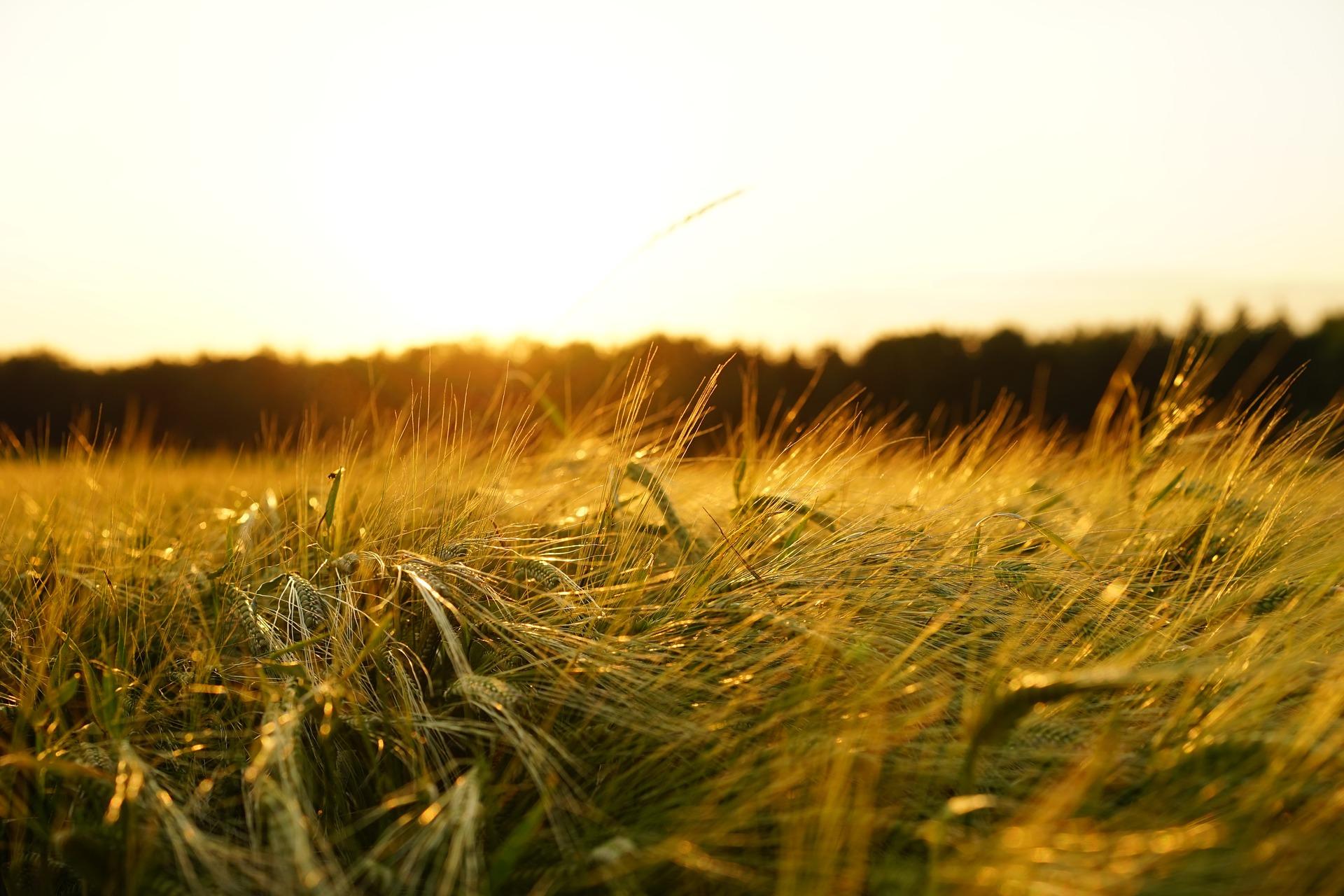 barley-1117282_1920.jpg
