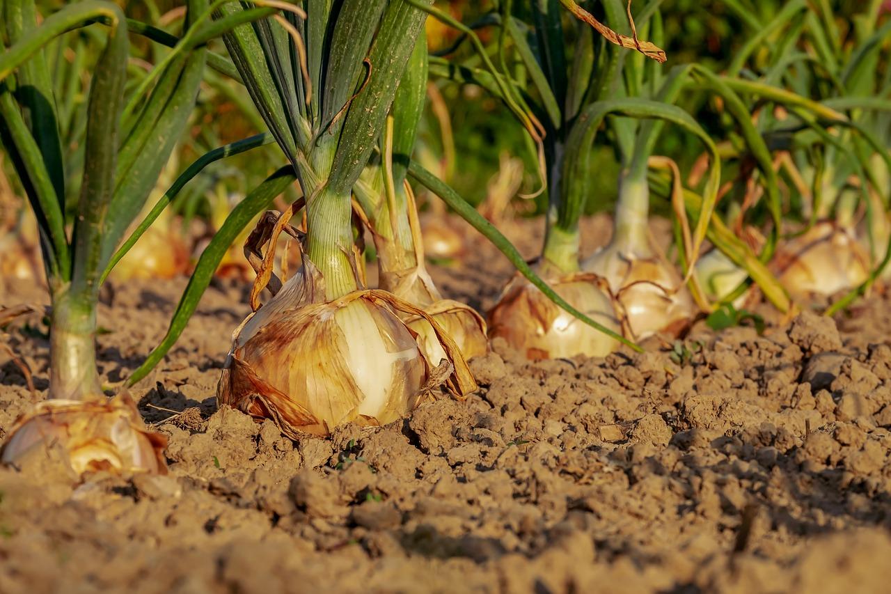 onion-3540502_1280.jpg