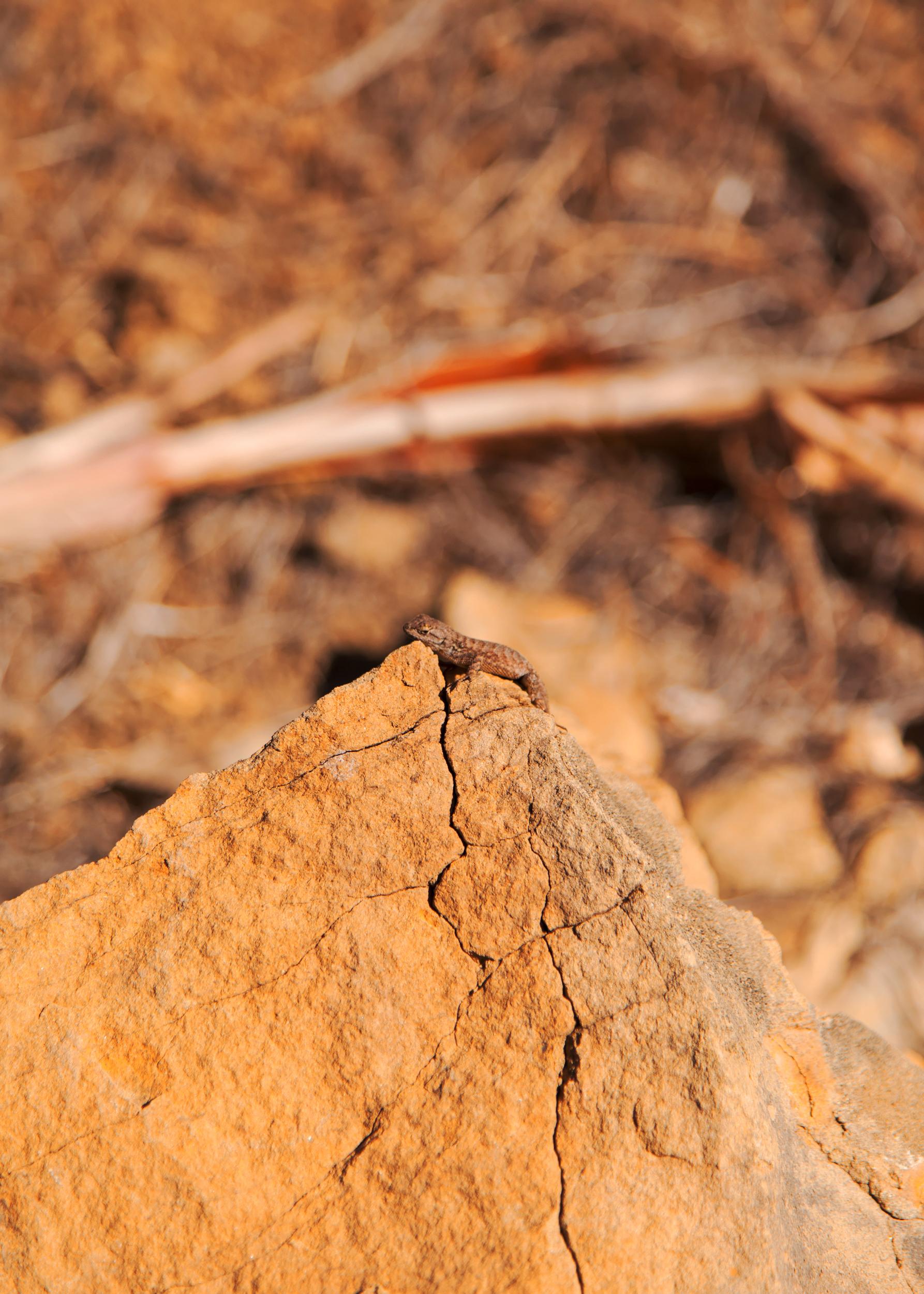 lizardrock400x_10Inches.jpg
