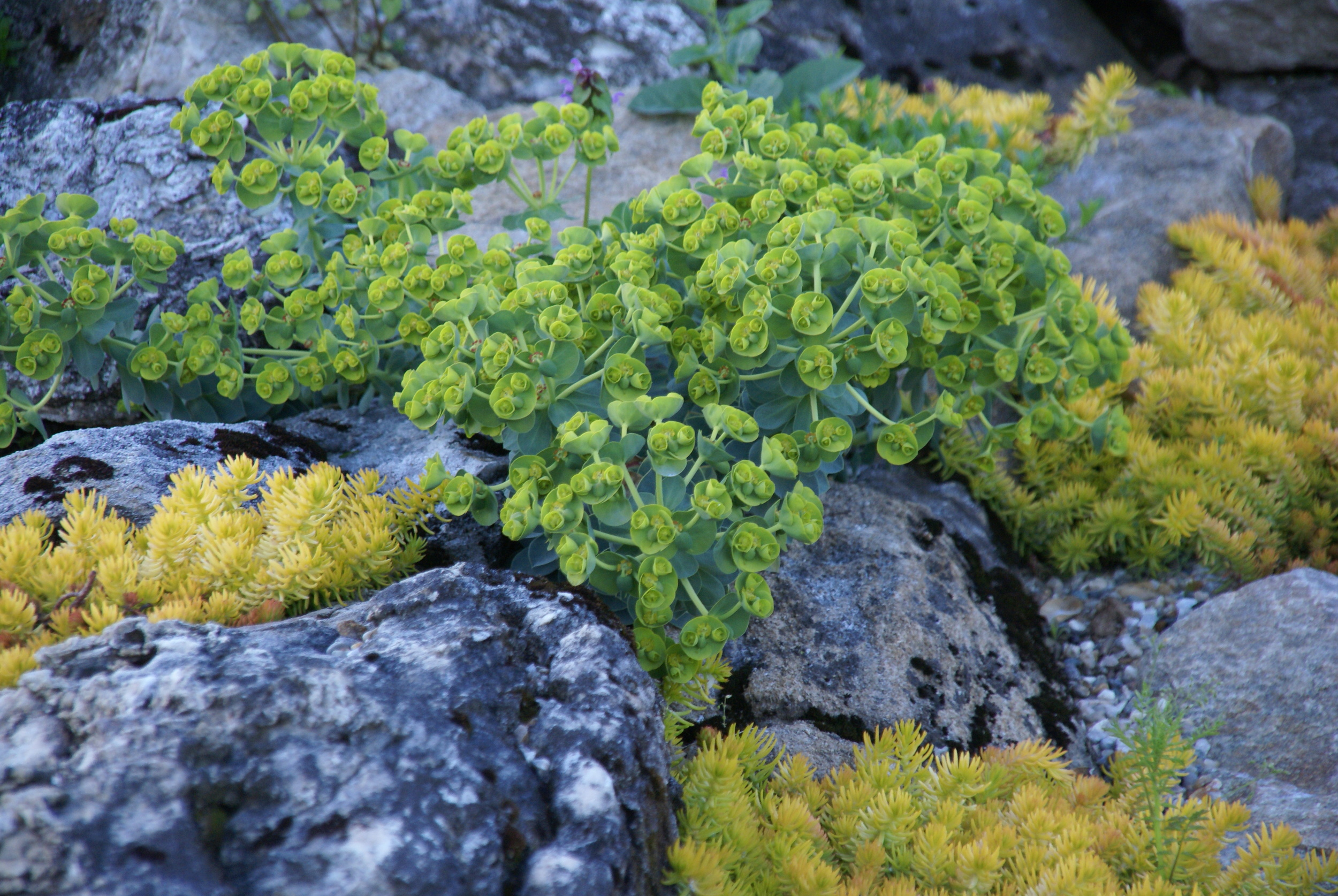 Euphorbia with sedum amid stones