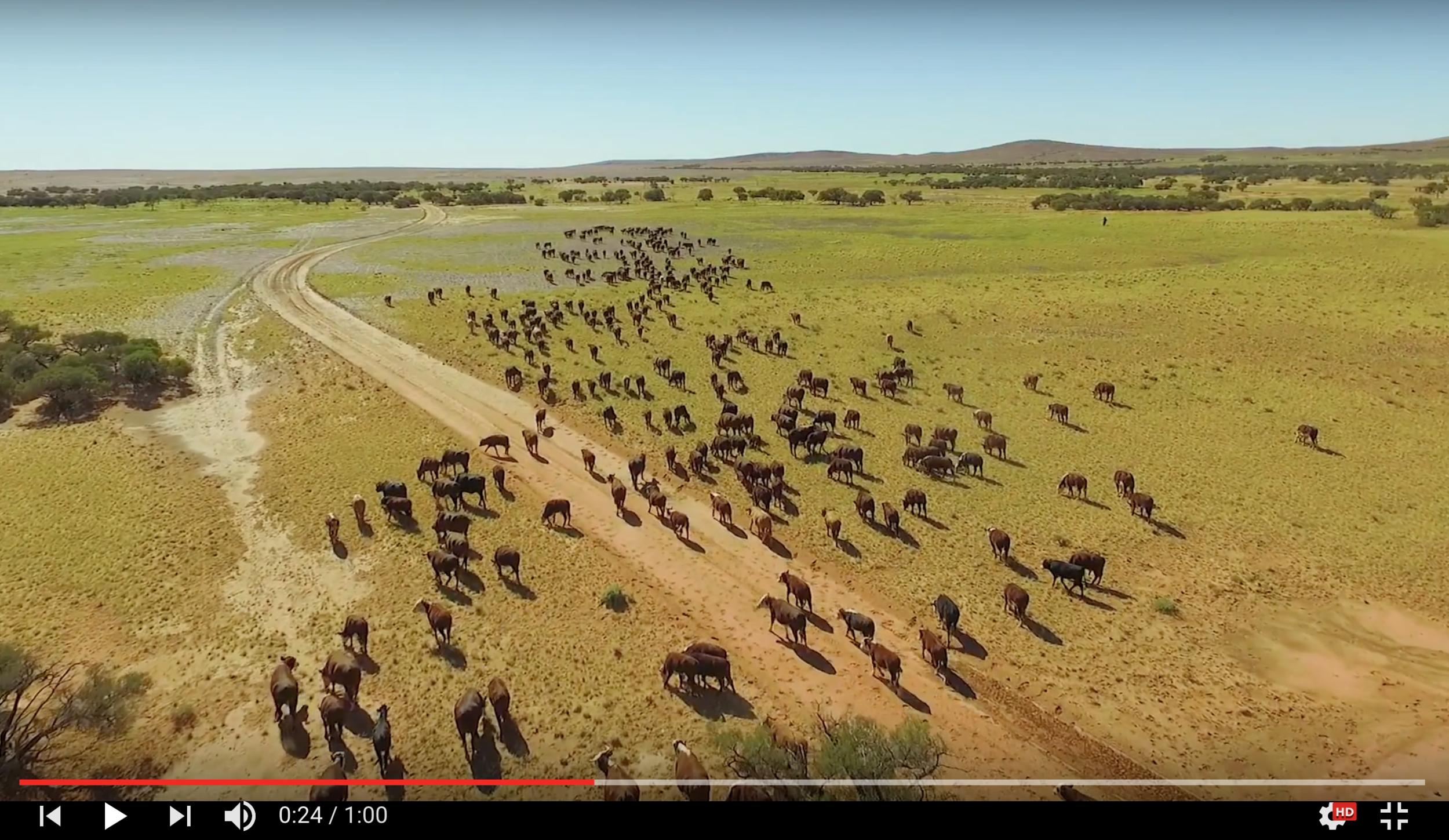 OBE Organic cattle as seen via drone camera