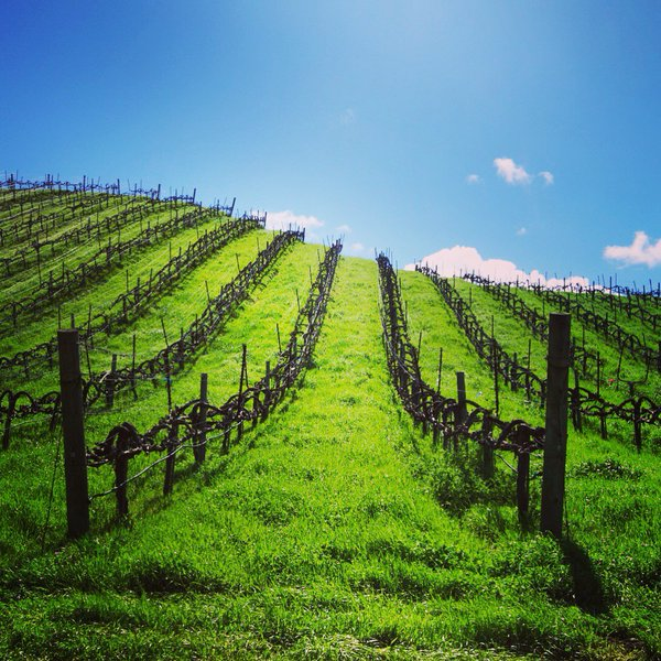 Cover crops on the fields at Hirsch Vineyards