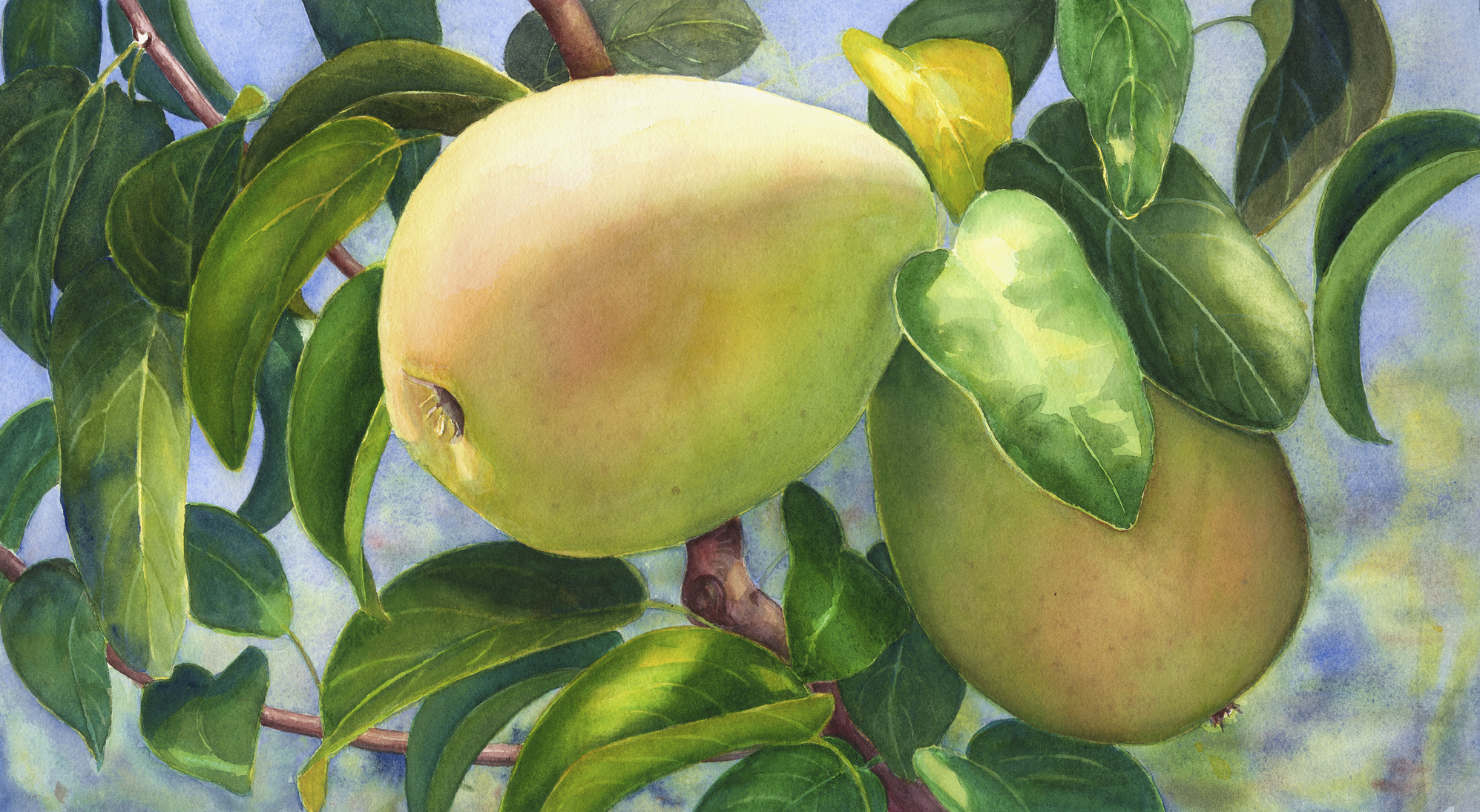 "Pears 11"" x 21"" Sold; Giclée prints available"