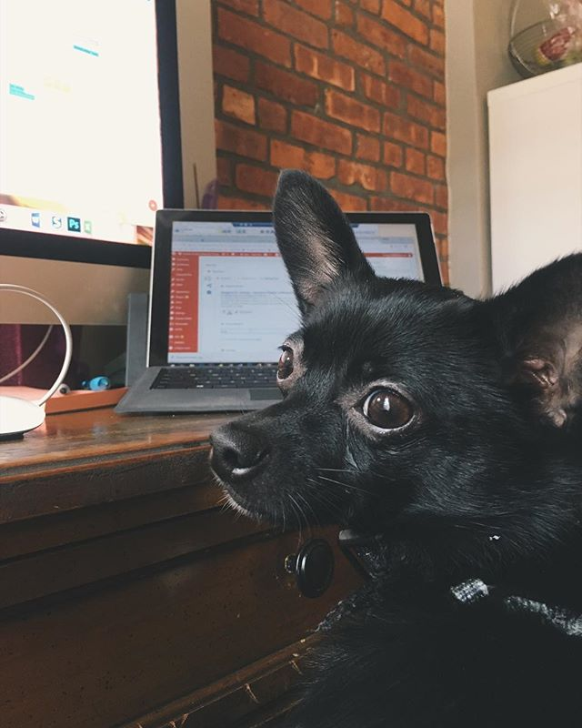 """""""Can we take a break yet?"""" Mr. Ziggy is tired of writing up a month's worth of blog posts for @hsbroward. Guess it's time for a walk. . . . . . . #officesupplies #homeoffice #shopping #dogsofinstagram #chihuhua #chihuahusofinstagram #coworking #cute #shopaholic #remotework #marketing #socialmedia #workfromhome #workfromwherever #target #bosslady #barketingdepartment #nyc #newyork #blogger #blog"""