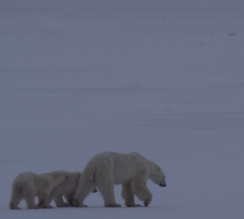 Another Mom and two cubs out at Cape Churchill