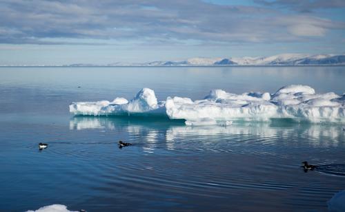 Thick Billed Murres cruising the ice edge.