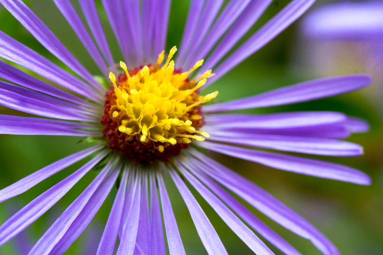 Wild-Late-Purple-Aster.jpg