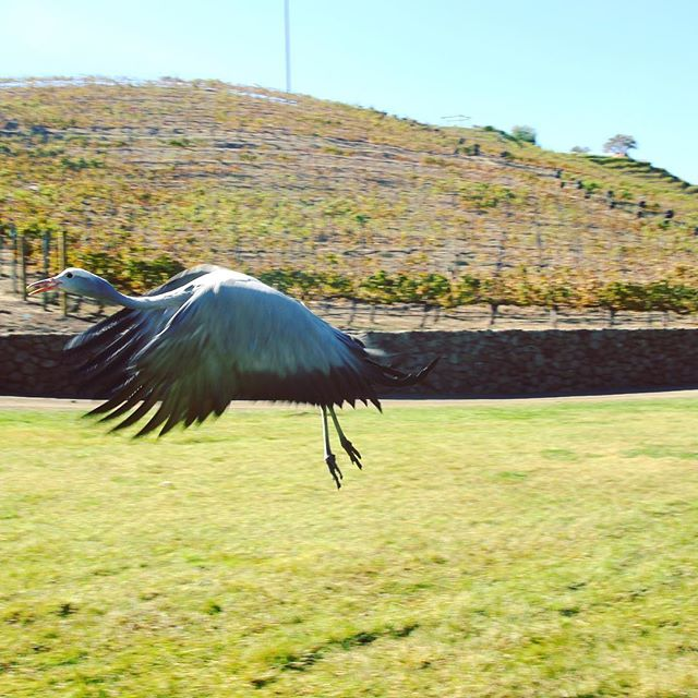Delilah the Blue Crane enjoying her freedom in #campcabernet this past Sunday. . @saddlerockranch #vineyards #malibuwinesafari This gorgeous #exoticbird is a rescue animal at @moorparkzoo #nationalbird #southafrica #bluecrane and is part of our special #wildlifesafari #malibu #picoftheday #instaanimal #freedom #takeflight #thegreatoutdoors #lalovestory