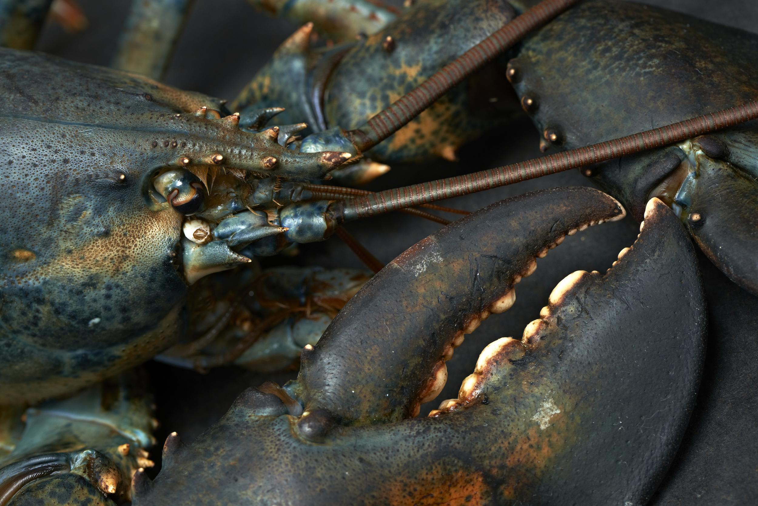 crabe bleu web.jpg
