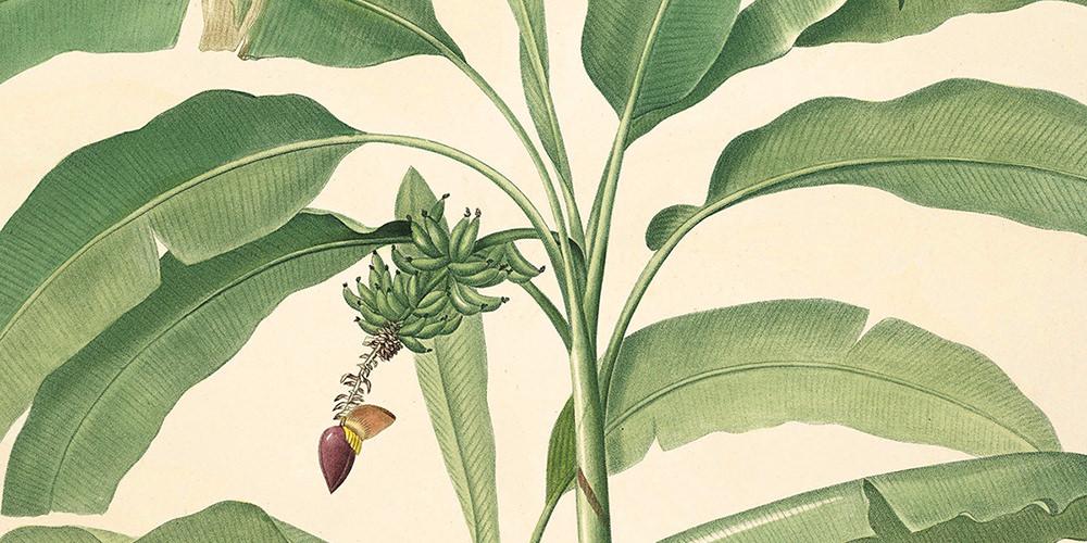 musa-paradisiaca-2-1000x500.jpg