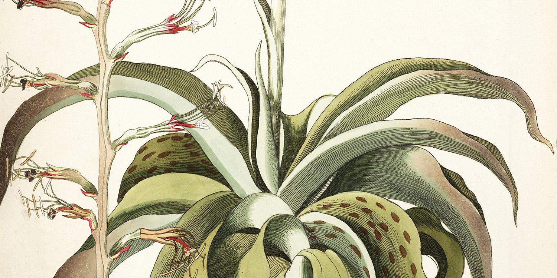 agave-virginica-1786-1793-1-1500x750.jpg